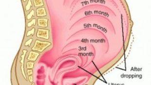 Hamileliğin İlk Haftaları