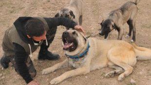 Kangal köpeğinin fiyatı dudak uçuklattı